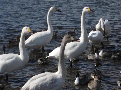 白鳥飛来地とジェラード試走 20130126